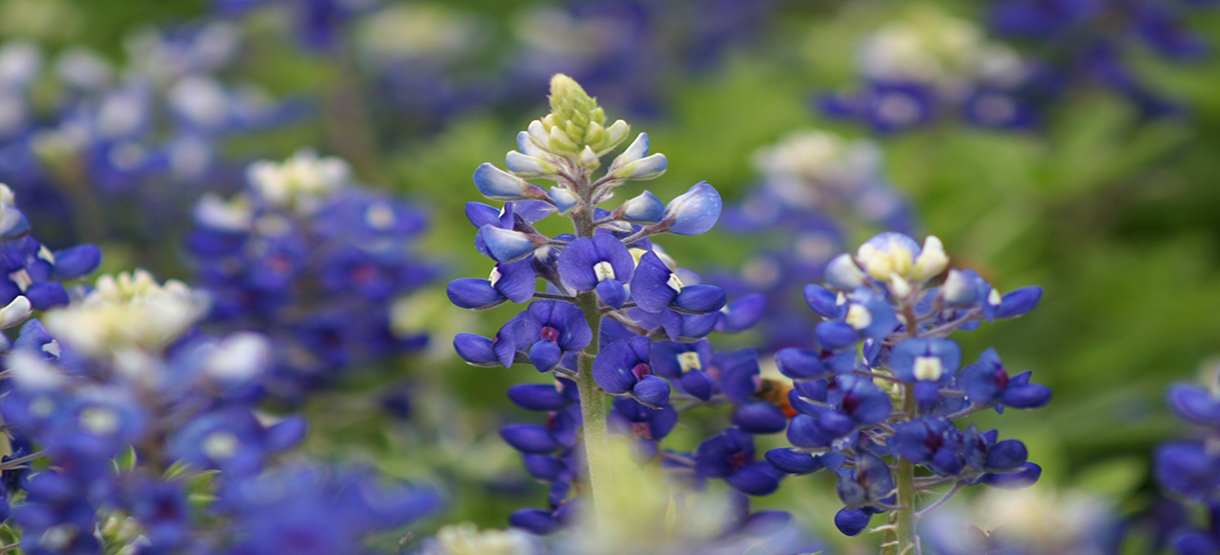 Bluebonnets, Texas State Flower | Breast Cancer Car Donations