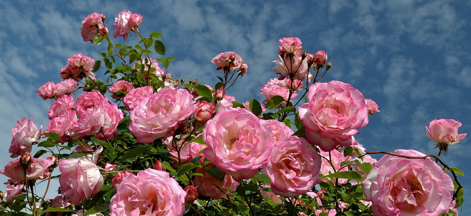 Portland Oregon is the home of Rose Festival | Breast Cancer Car Donations