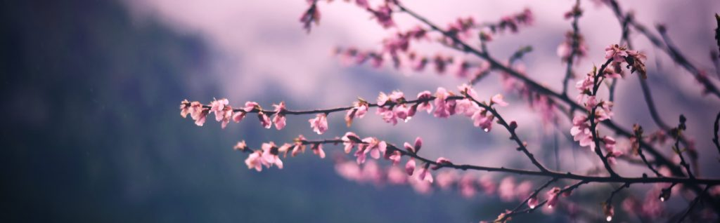 Pink Blossom in Spring | Breast Cancer Car Donations