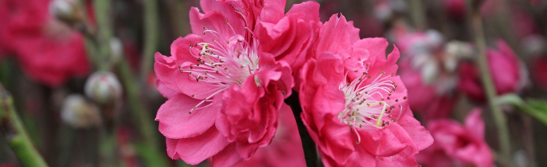 Cherry Blossoms on the Spring Festival | Breast Cancer Car Donations