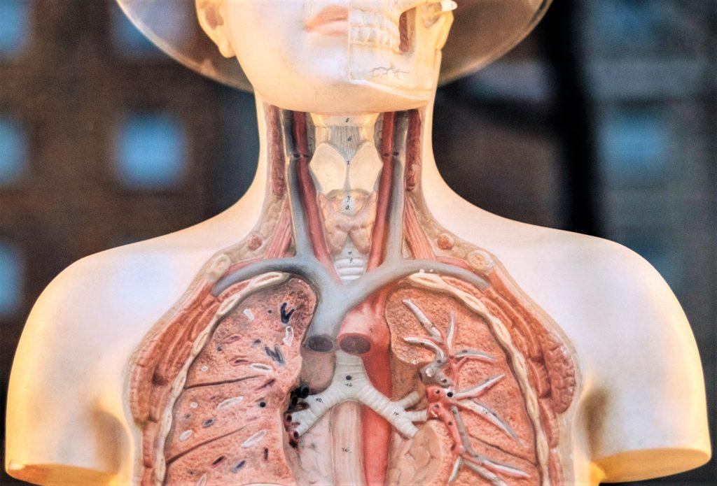Human Anatomy Model | Breast Cancer Car Donations