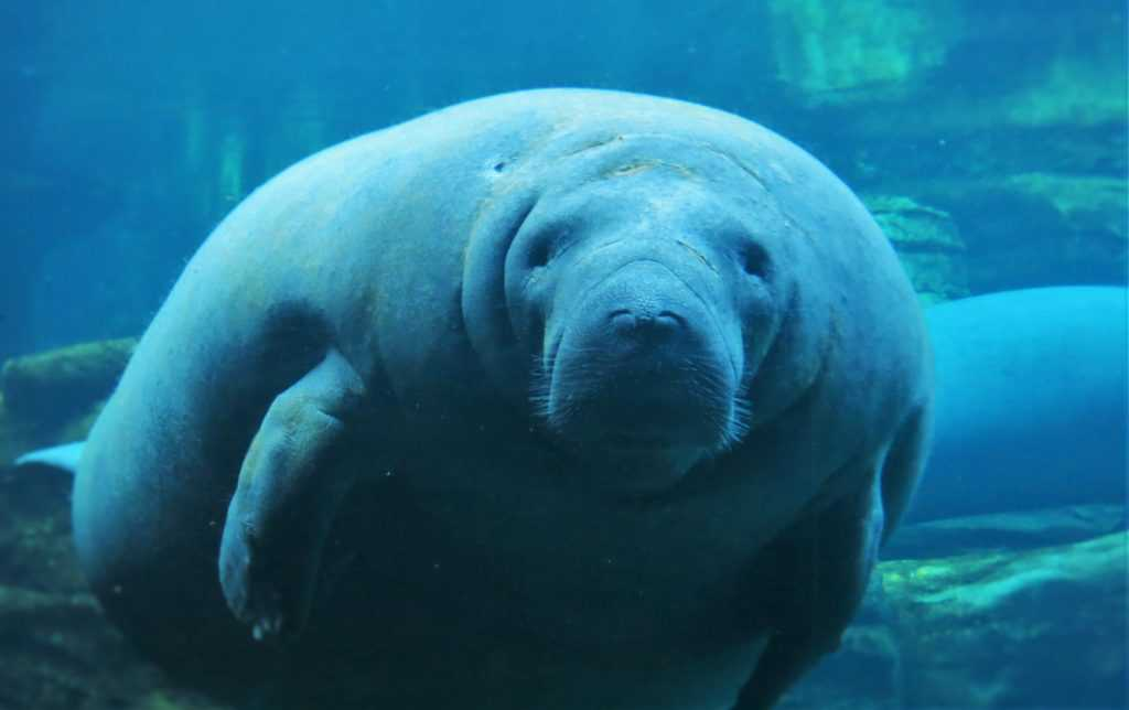 Endangered Manatee | Breast Cancer Car Donations