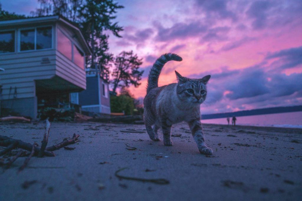 Cat Walking on a Beach   Breast Cancer Car Donations