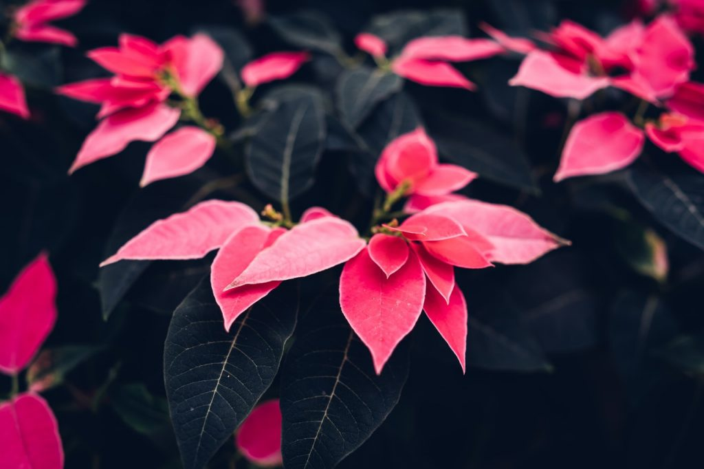 Poinsettia Flowers Up Close | Breast Cancer Car Donations