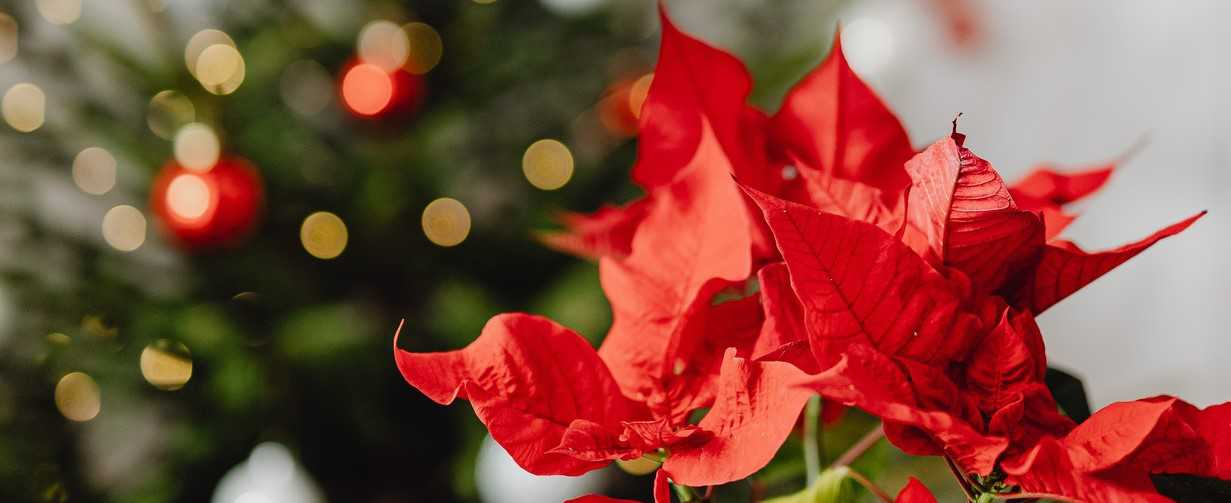 Poinsettia Flowers in Holiday Season | Breast Cancer Car Donations